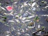 baixa-oxigenacao-agua-mortandade-peixes-piracanjuba
