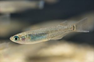peixes-medaka