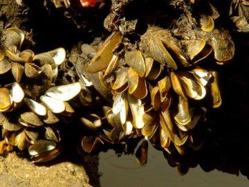 mexilhao-dourado